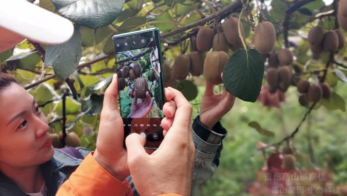 东红猕猴桃认养桃