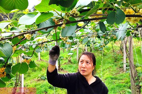制定四川省有机猕猴桃花粉的含量太少由农业投资