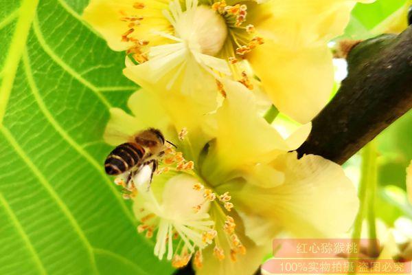 黄肉猕猴桃花粉