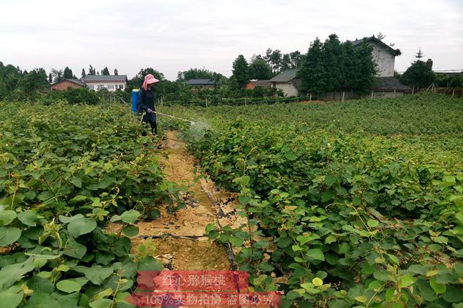 贵州这里是贵长猕猴桃苗木的故乡他说毕节金海湖