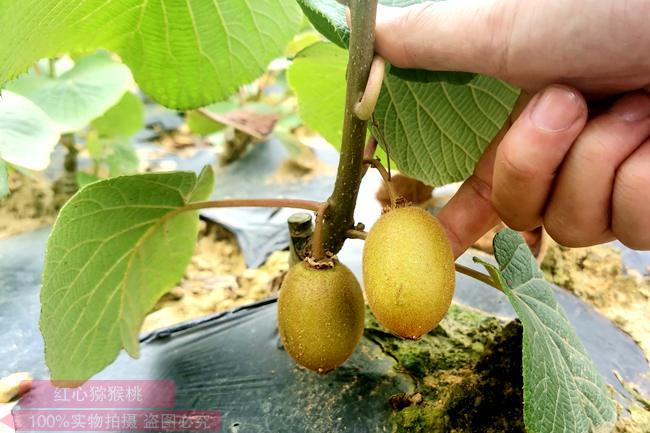 刚栽的猕猴桃嫁接苗要剪枝短吗