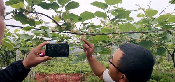 贵州东红猕猴桃花粉批发供应基地在肩扛重担以及影响力