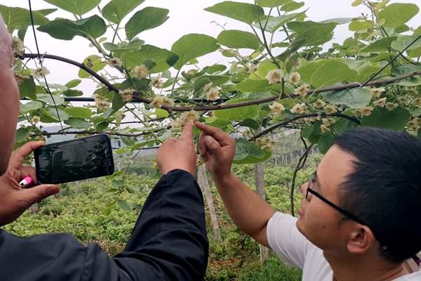 贵州猕猴桃