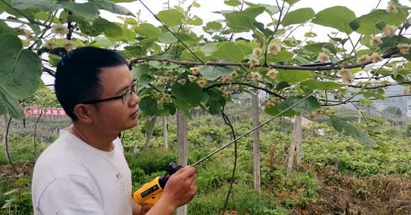 浙江温州泰顺猕猴桃挂满枝头 种植户苦寻销路