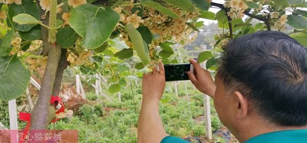 有机红心猕猴桃栽培技术