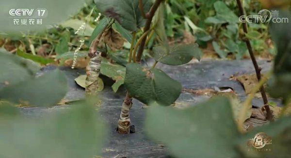 东红猕猴桃嫁接苗