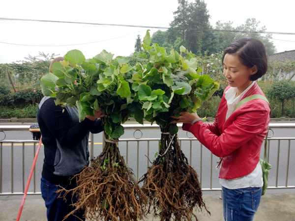 依托蒲江良好的气候条件 川之龙公司办起了红心猕猴桃苗圃