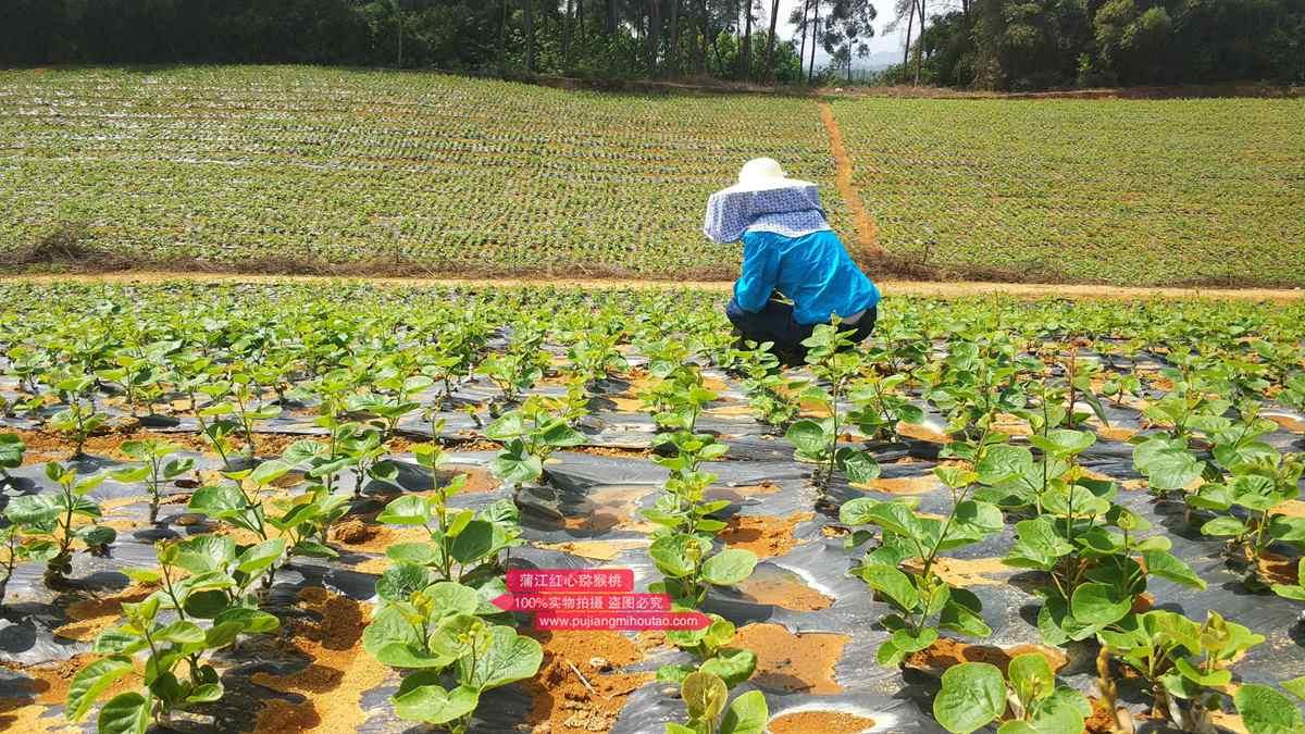 一个特色千亩阳光金果G3猕猴桃种植基地