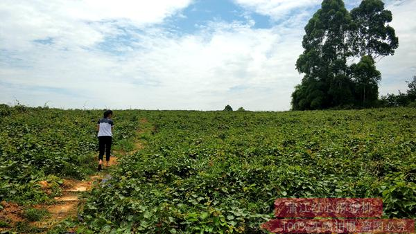 东红猕猴桃种苗苗木