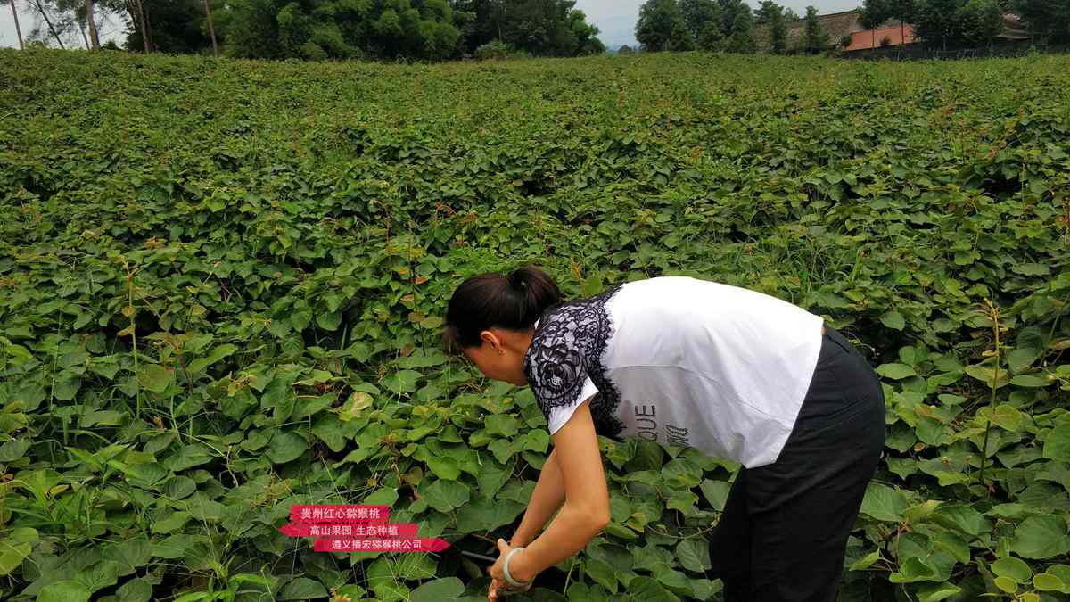 四川成都东红猕猴桃苗木繁育基地负责人不好意思地对记者说