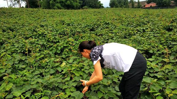 贵州修文展开红心猕猴桃质量安全种植观念