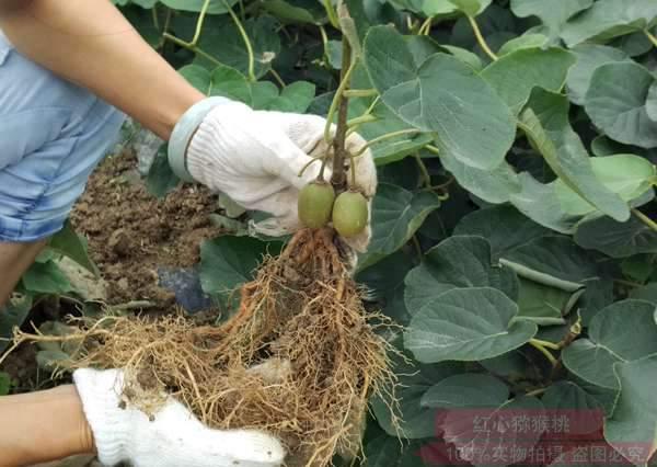 在贵州遵义选择有机猕猴桃这个东西它真的太帅了