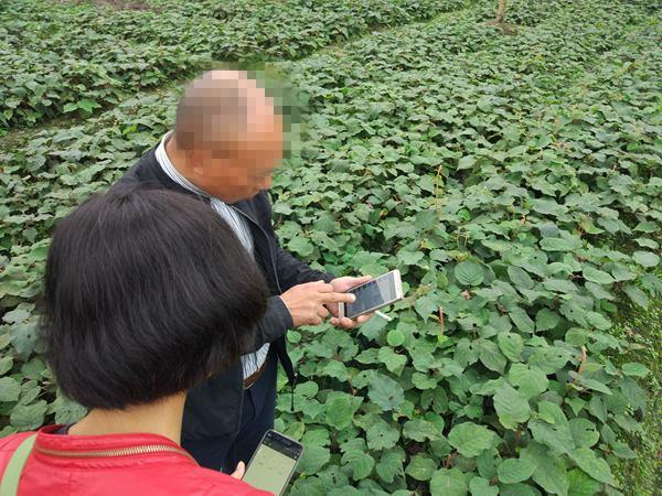 四川眉山东坡区富牛镇曾庙村引入红心猕猴桃种植