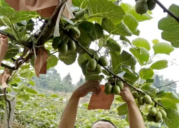 贵州水城可以供应红心猕猴桃嫁接苗的数量