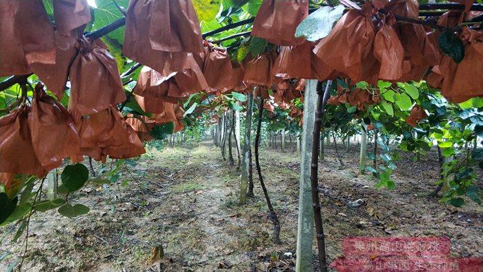 贵州红心猕猴桃种植果园