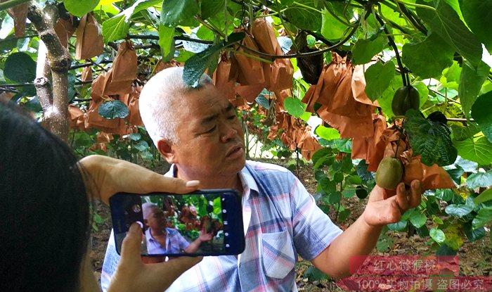 贵州有机猕猴桃种植果园