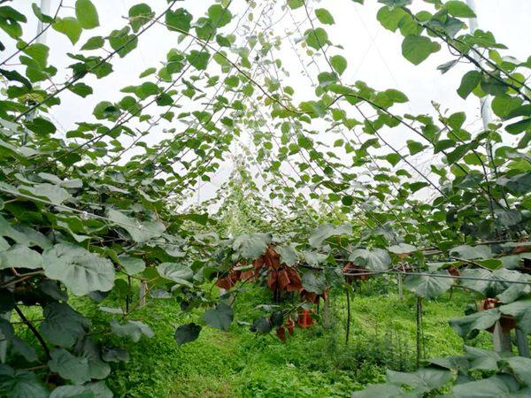 猕猴桃伞形架