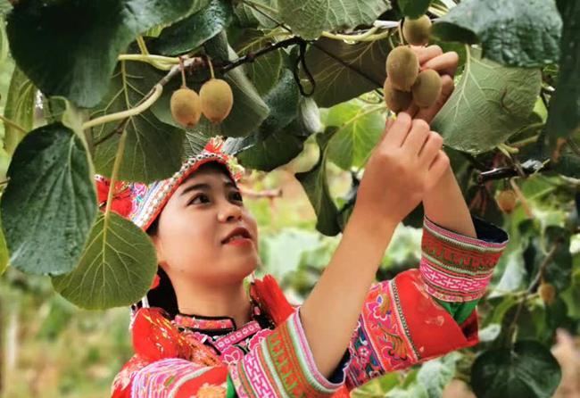 直接瑞玉猕猴桃云南和广西地区的朋友话