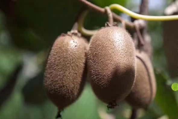 翠香猕猴桃和瑞玉猕猴桃哪个更贵更甜