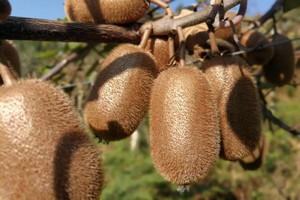 响应贵州毕节政府发展贵长猕猴桃苗木种植产业的号召