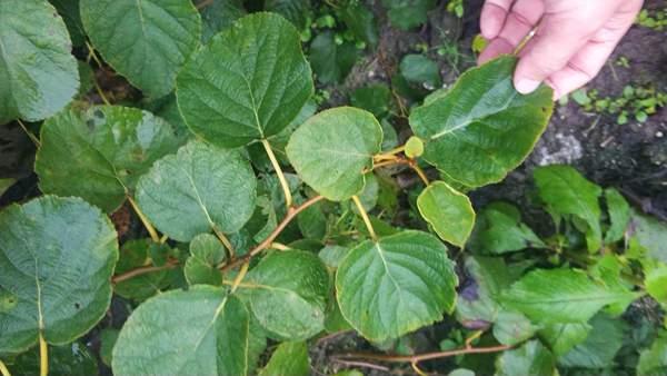 贵长猕猴桃种苗