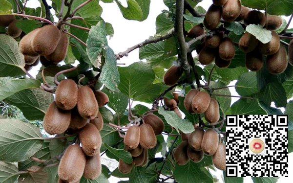 贵州贵长猕猴桃价格