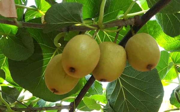 四川红十二猕猴桃基地预计产量多少斤