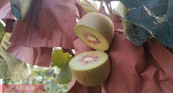 杨氏金红50猕猴桃