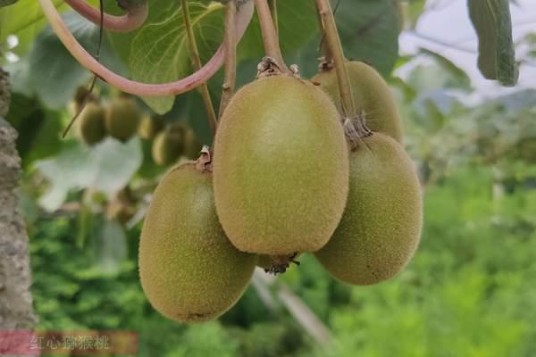 中国黄肉猕猴桃摇身变成了新西兰金奇异果
