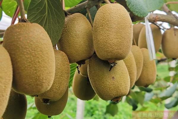 黄心猕猴桃味道和营养完胜绿心猕猴桃品种