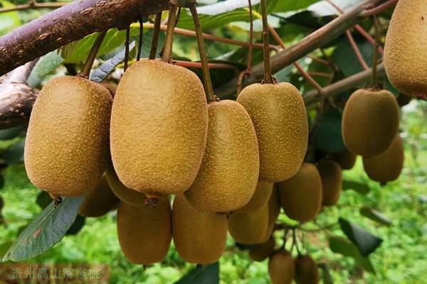 本土猕猴桃传播到新西兰之后,新西兰人率先向全世界进行推广