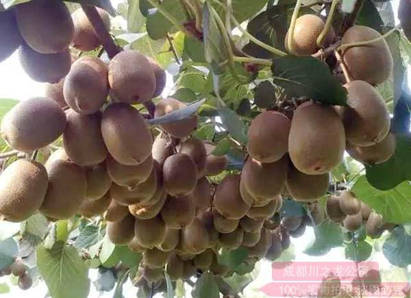 在阳光金果魅力金果那个种植效益更高目前对基地