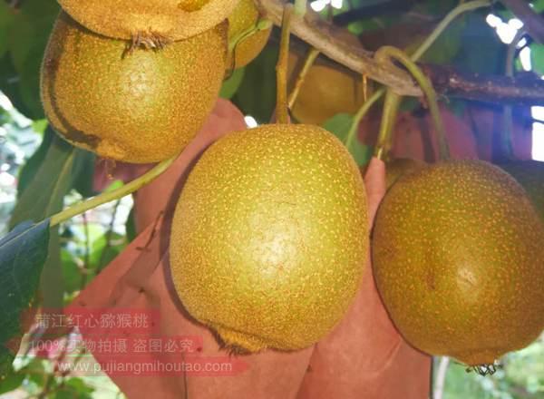 黄金奇异果