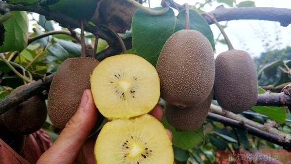 黄心猕猴桃什么时候成熟修文贵长猕猴桃基地在哪里