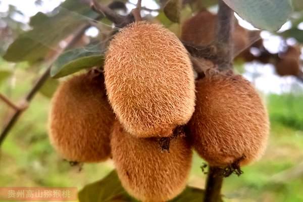 哪种猕猴桃最有发展是瑞玉猕猴桃 新品种就是为猕猴桃转型升级而诞生