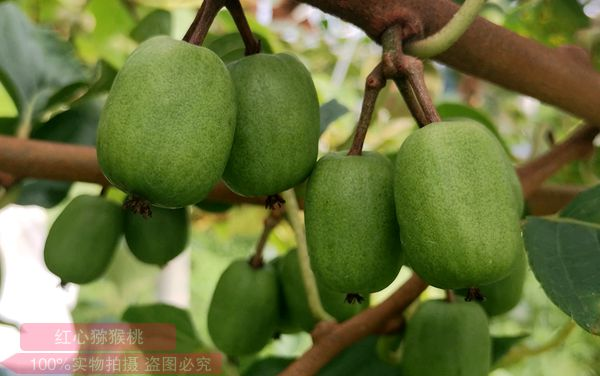 软枣猕猴桃好吃吗