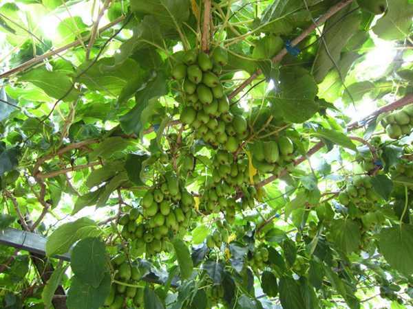 软枣猕猴桃苗