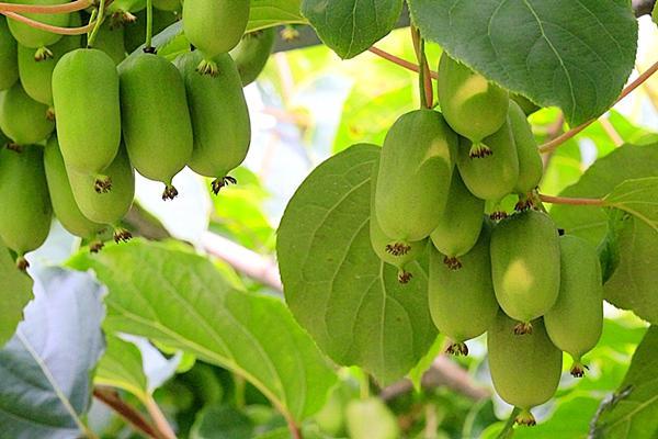 软枣猕猴桃品种介绍 种植所需地理条件水肥管理