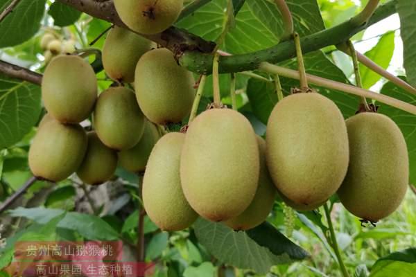 浙江寧波采用生態有機方式種植紅心獼猴桃
