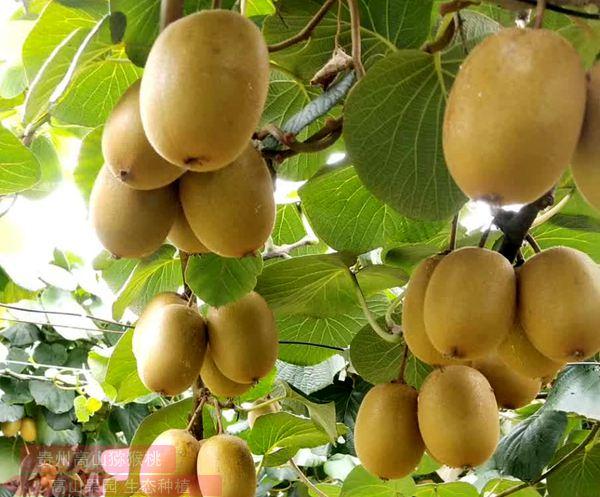 奇分享 ZESPRI新西兰金奇异果 阳光金果最受市场欢迎