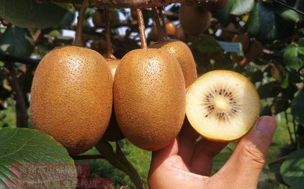 阳光金果g3猕猴桃
