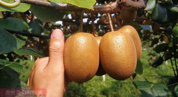 阳光金果金三猕猴桃