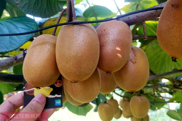 阳光金果多少钱一斤