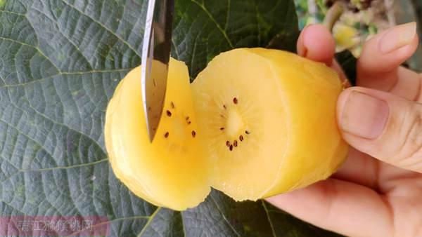 新西兰阳光金果