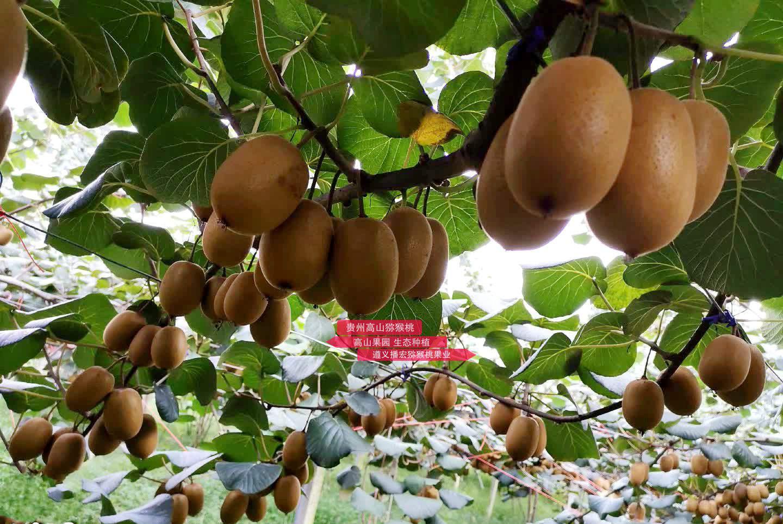 江苏南京鸭蛋般大小沉甸甸的有机猕猴桃挂满枝头