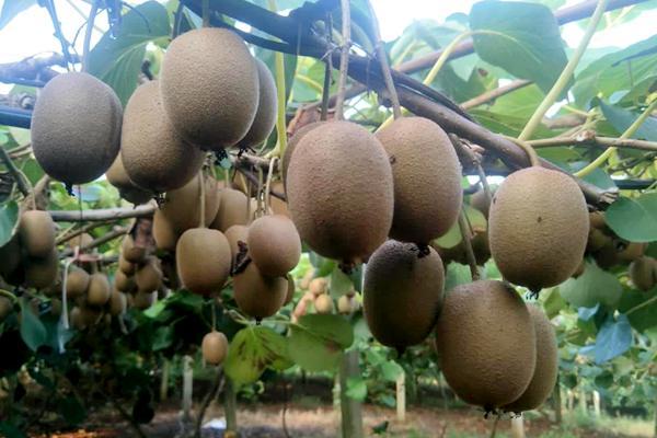台盟联手重庆大力扶植富有特色的猕猴桃产业