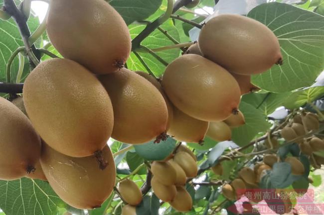 """预计四川绵阳本地种植的猕猴桃以""""阳光金果g3猕猴桃""""为主"""