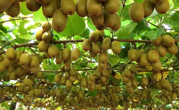 陕西省汉中西乡:培育200万株优质良种猕猴桃苗
