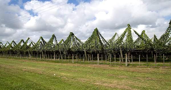 四川农民采用猕猴桃牵引技术 就是猕猴桃伞形架