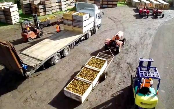 品尝真正的佳沛阳光金果 2021年测评新西兰黄心猕猴桃